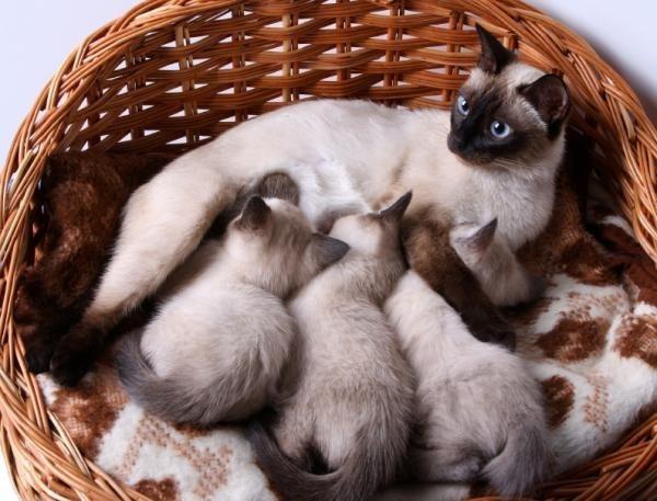 Как принимать роды у кошки