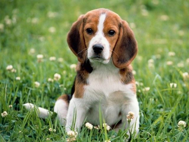 Все о собаках породы бигль
