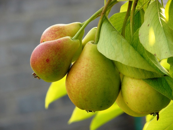 Как сажать грушу