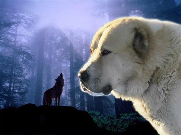 Как содержать собаку породы алабай