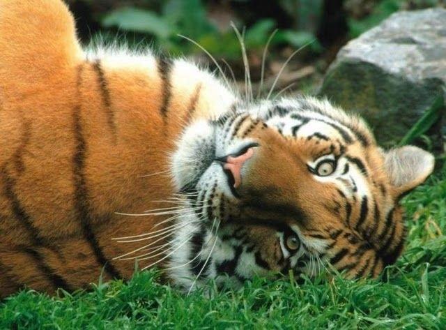 """Какое значение имеет татуировка """"Тигр"""" на плече"""