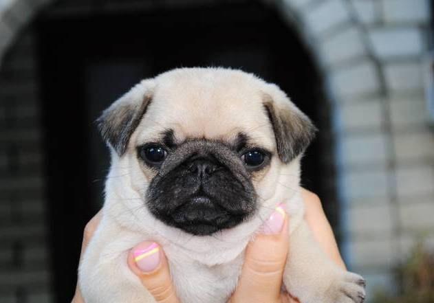 выбрать щенка мопса при покупке
