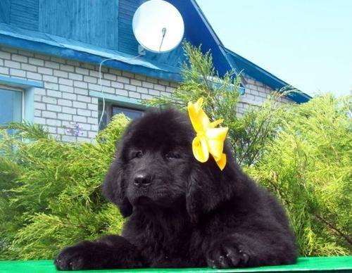 Как выбрать щенка водолаза при покупке