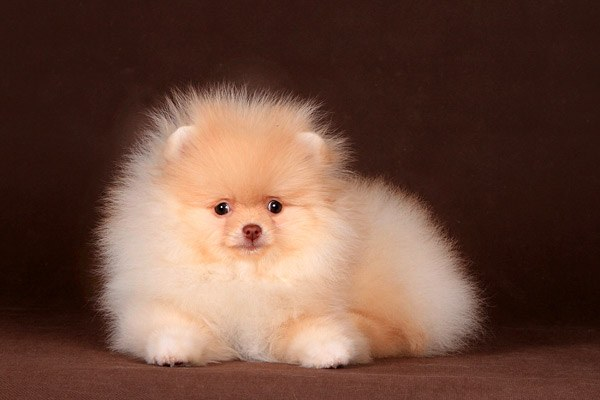 How to choose a good puppy Spitz