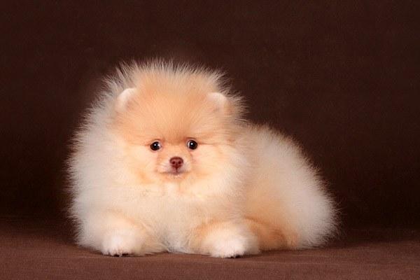 Как выбрать хорошего щенка шпица