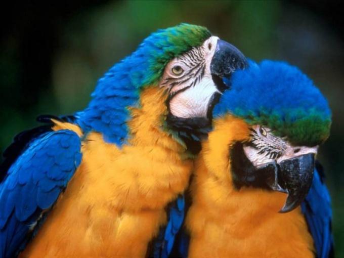Как выбрать большого попугая при покупке