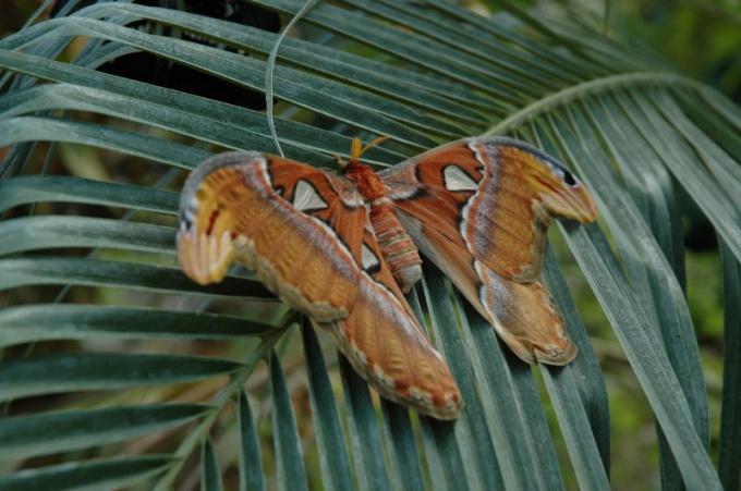 Бабочка Атлас - самая крупная бабочка в мире!