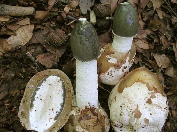 Лечебные свойства гриба-веселки