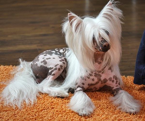 выбрать щенка китайской хохлатой собаки