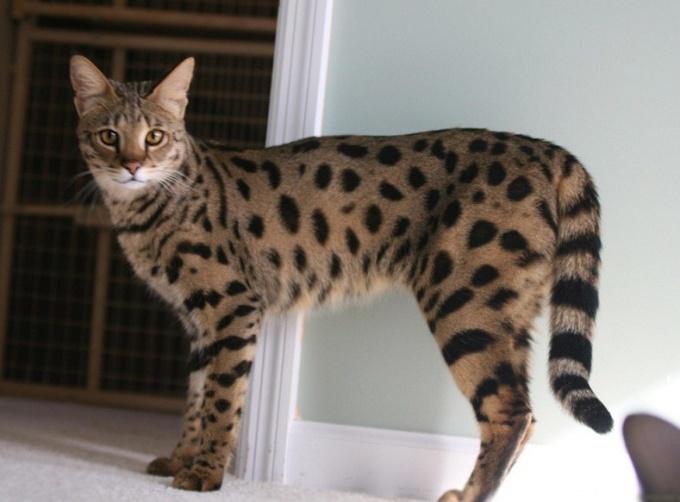 Как ухаживать за кошкой породы саванна
