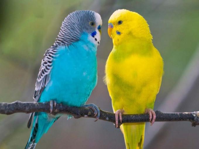 выбрать и купить волнистого попугайчика