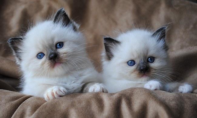 Как выбрать котёнка породы регдолл при покупке