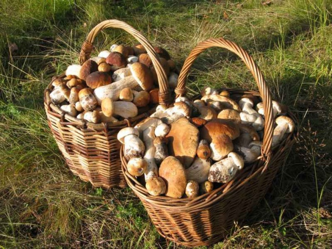 Как верно собирать грибы в лесу