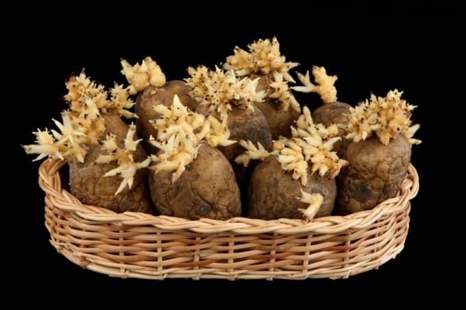 Как правильно проращивать картофель