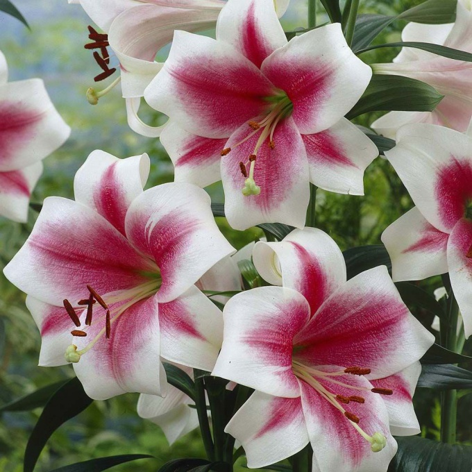 To lilies richly bloomed
