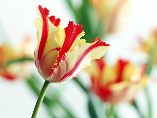 """Как реанимировать луковичные цветы-""""лягушки"""""""