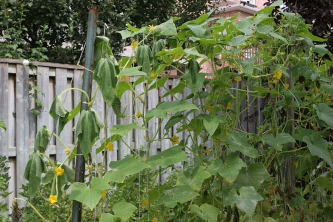 Why wilt cucumber