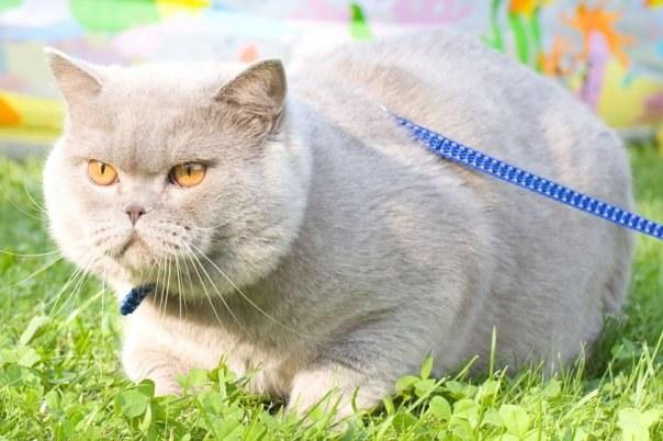 Кастрированный кот перестает метить территорию, беспокоить хозяев