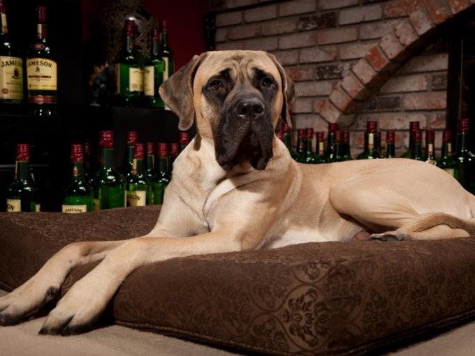 Как выбрать собаку-охранника