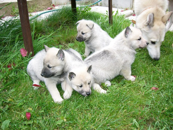 How to determine the purity of the breed of the puppy huskies