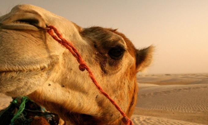 Верблюд - это настоящий корабль пустыни!