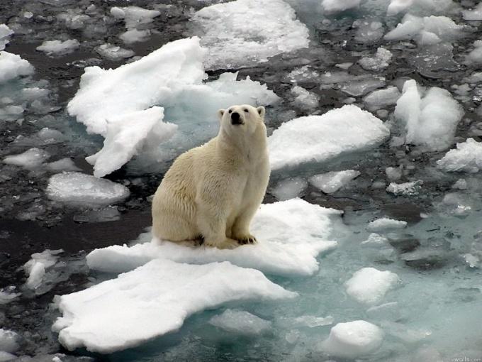 Белые медведи - короли Северного Полюса!