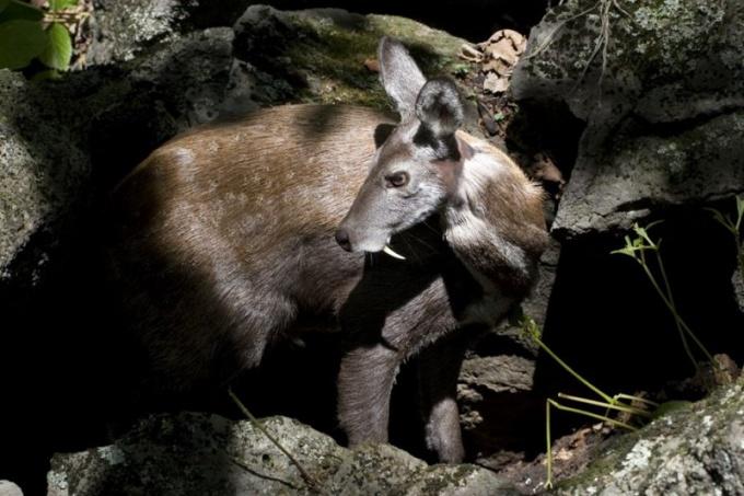 Одно из уникальных животных России - кабарга.