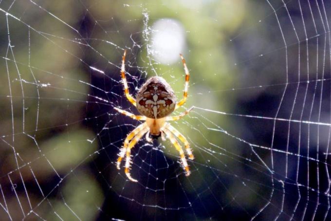 Способ плетения паутины крестовиком довольно интересен!