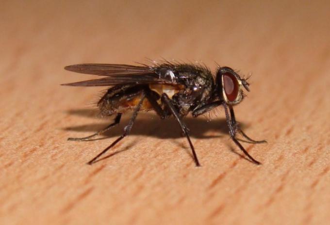Комнатная муха - разносчик болезнетворных микробов.
