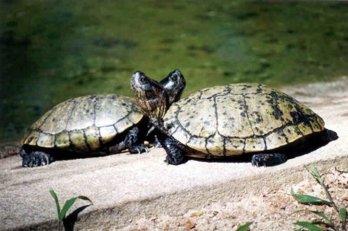 разводить водных черепах