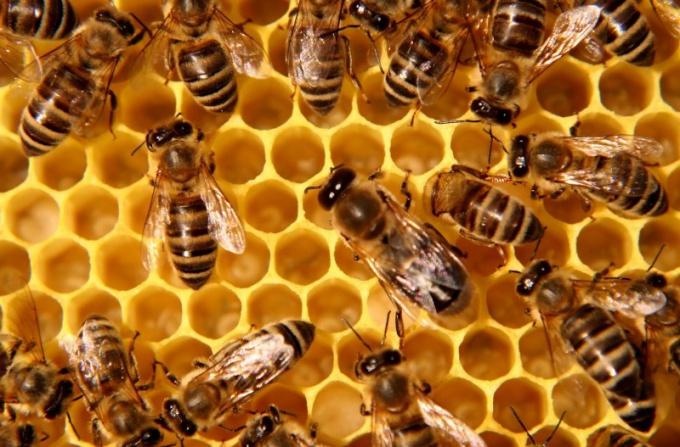 Медоносные пчелы