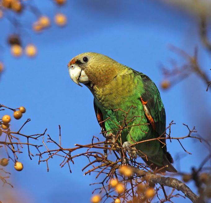 Как понять, что попугай заболел