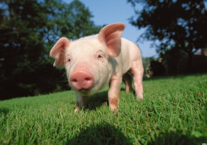 Pig - a longtime human companion