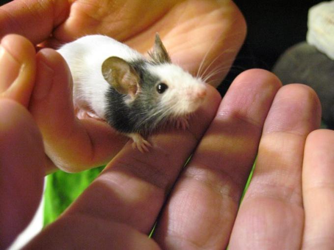 Не нужно бояться крохотных и беззащитных мышей!