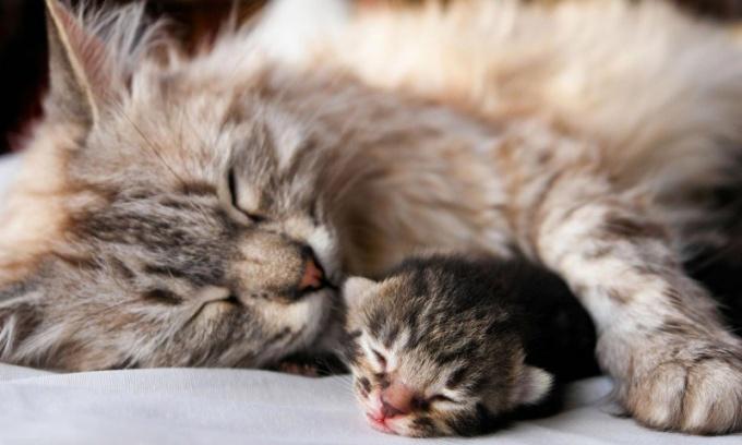 Перед родами кошка волнуется и не находит себе места