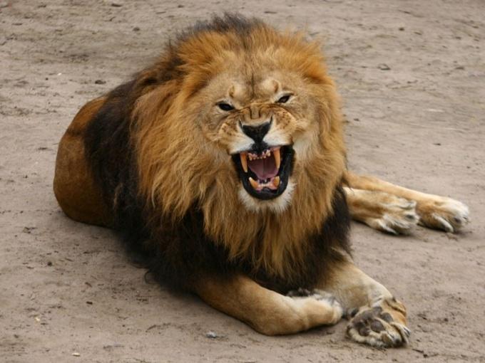 живут львы