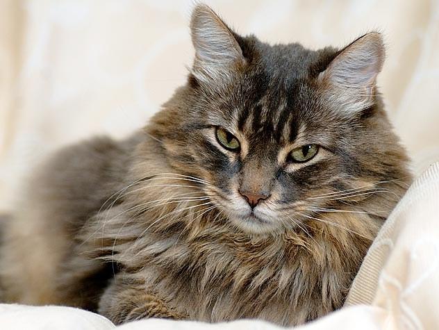 Что делать, если у кошки пироплазмоз