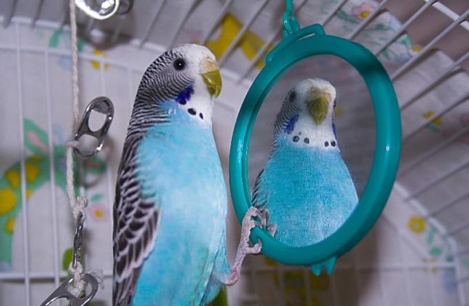 Зачем попугай смотрит в зеркало