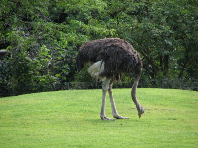 Ostriches never bury their heads in the sand!