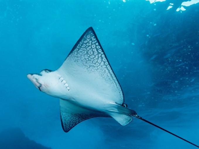 Электрические скаты опасны как для других рыб, так и для людей!