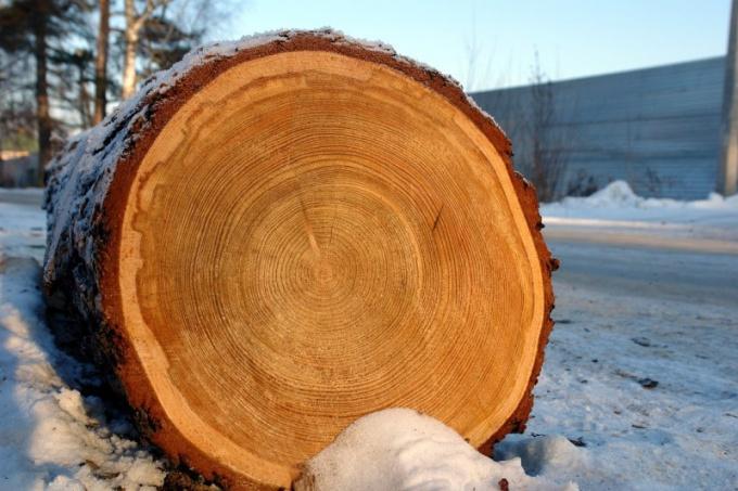 Поперечный срез древесного ствола с радиальными кольцами