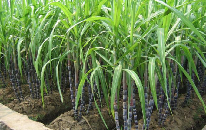 Как вырастить сахарный тростник
