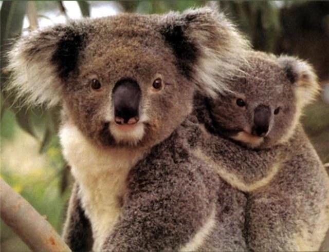 Почему в Австралии много сумчатых животных