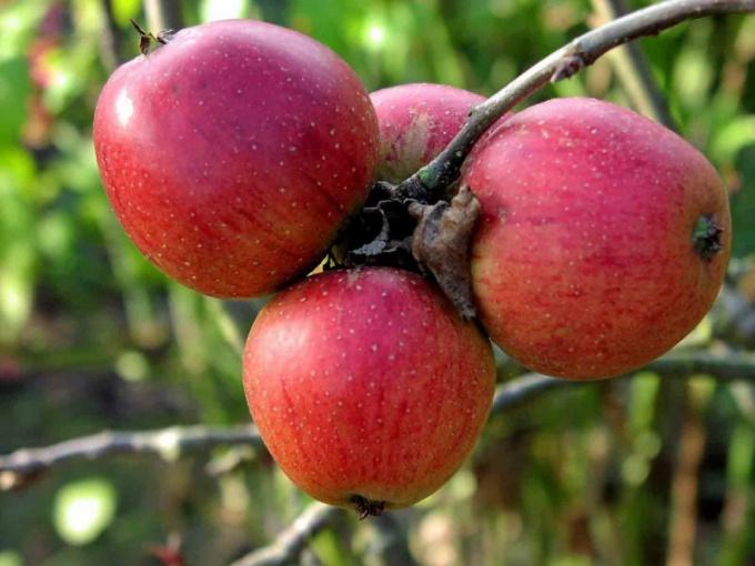Как предпочесть сорт яблони для сада