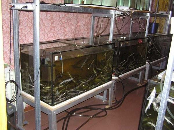 выращивание рыбы дома