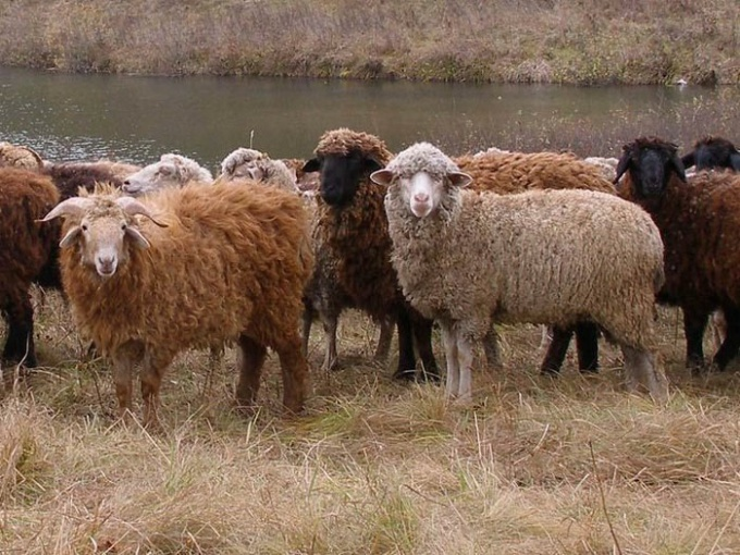 Sheep - one of the possible sources of infection brucellosis