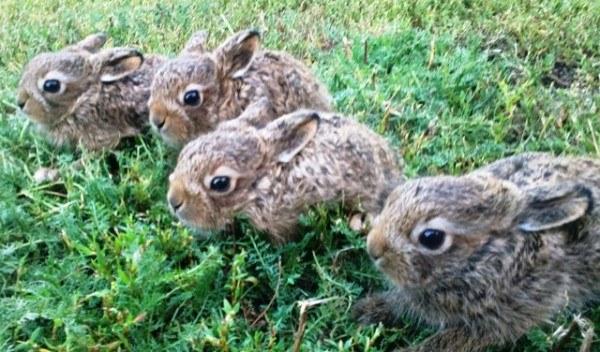Как зайчиха находит своего зайчонка