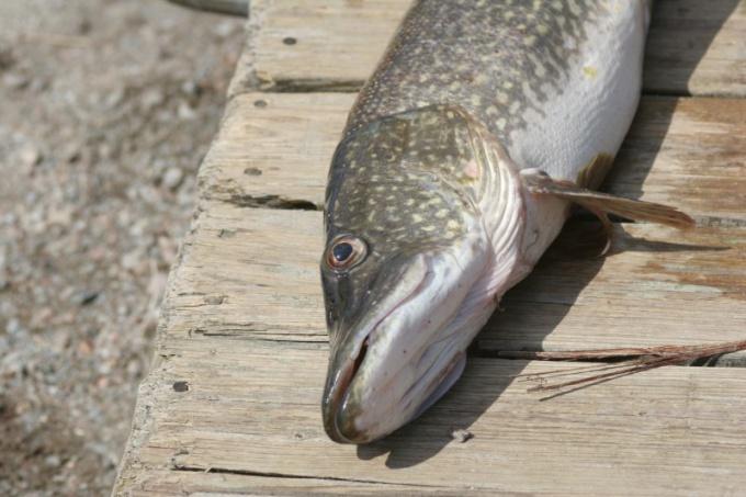 Как правильно умерщвлять рыбу