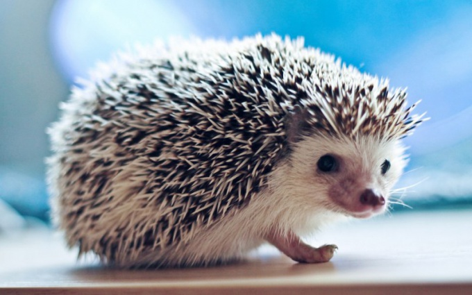 What to eat hedgehogs