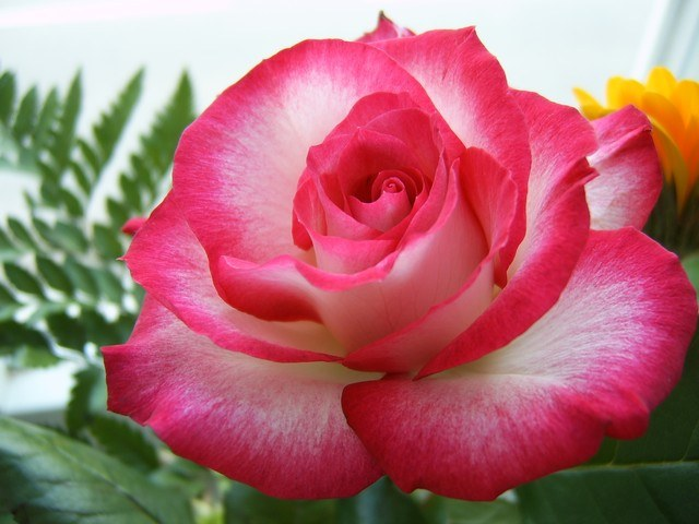 Как можно использовать лепестки роз